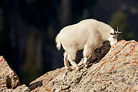 A Mountain Goat in northern Utah climbs to the edge of a cliff side rugged cliffs and steep hill sides is where they live.