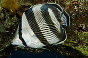 Banded Butterflyfish (Chaetodon striatus)<br /> BONAIRE, Netherlands Antilles, Caribbean<br /> HABITAT &amp; DISTRIBUTION: Reef tops often in pairs. Florida, Bahamas, Caribbean, Gulf of Mexico &amp; Bermuda
