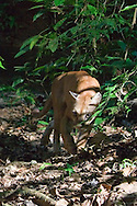 Mountain Lion (Puma concolor: Felidae) caught with infrared triggered camera<br /> COSTA RICA<br /> Corcovado National Park<br /> Sirena Biological Station; Rio Camoronal<br /> 24-Feb-2007<br /> J.C. Abbott &amp; K.K. Bauer