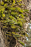 Resurrection fern growing on a live oak tree on the Isle of Palms, SC.