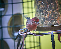 Male House Finch. Image taken with a Nikon D5 camera and 600 mm f/4 VR telephoto lens (ISO 640, 600 mm, f/4, 1/1250 sec).