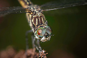 female Blue Dasher's face