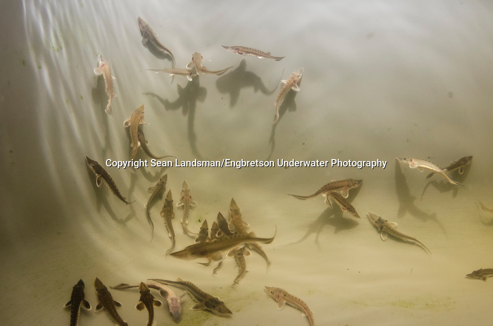 Shortnose Sturgeon Fingerlings<br />