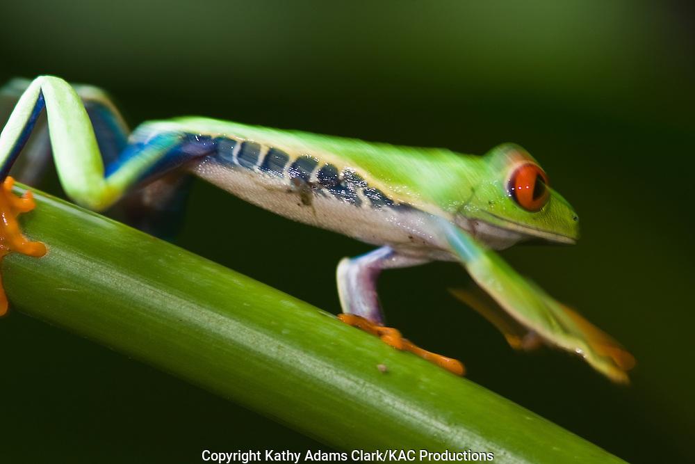 flying leaf-frog, red-eyed treefrog, Agalychnis spurrelli, La Paz Waterfall Garden, costa rica.
