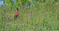 Pheasant (Phasianus colchicus) Pusztaszer Nature Reserve, Hungary