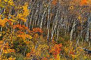Autumn aspen grove in Kananaskis Country, Alberta, Canada