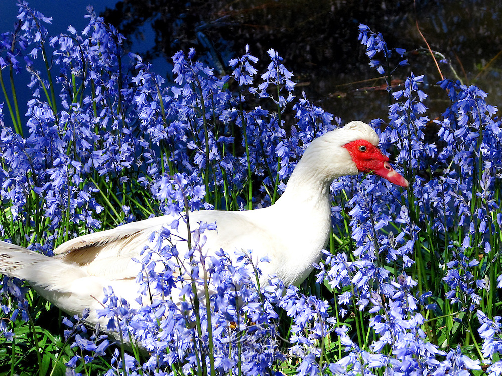 Muscovy Duck, New Zealand