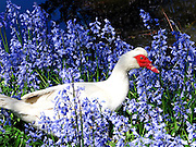 Muscovy Duck, New Zealand