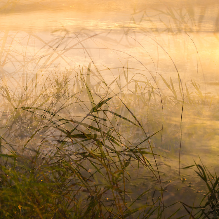 Landscape photo, multiple exposure of grass and reeds along the river's edge in golden light.