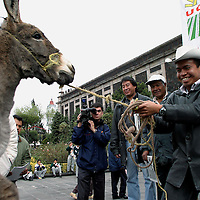 Toluca, Méx.- Integrantes de organizaciones campesinas protestan con una vaca y un burro en el congreso del estado y el palacio de gobierno uniendose a las demandas de los diputados del PRD, Federico del Valle y Basilio Avila quienes mantienen una huelga de hambre iniciada el pasado 9 de Diciembre en para exigir el aumento de 300 millones de pesos al presupuesto para el campo. Agencia MVT / Mario Vazquez de la Torre. (DIGITAL)<br /> <br /> NO ARCHIVAR - NO ARCHIVE