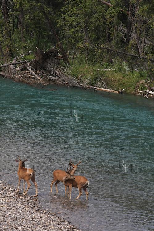 Mule deer bucks (Odocoileus hemionus) pause before swimming across the Bow River in Banff National Park, Alberta, Canada.