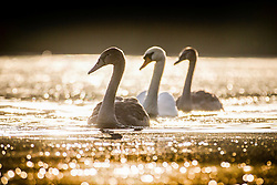 © Licensed to London News Pictures. 23/09/2016. Leeds UK. Two Cygnet's & their mother swim across the lake in this mornings bright sunshine at Golden Acre park in Leeds. Photo credit: Andrew McCaren/LNP