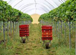 Pictured: Empty polytunnels full of fruit waiting to be picked highlights the shortage of workers.<br /> <br /> Members of the Scottish Affairs Select Committee of Parliament visited West Jordan Stone fruit farm in rural Perthshire to see first hand the effects of reduced numbers of foreign workers coming in to pick fruit and other seasonal jobs, meaning tons of fruit has been left to rot on the plants.<br /> <br /> &copy; Dave Johnston/ EEm