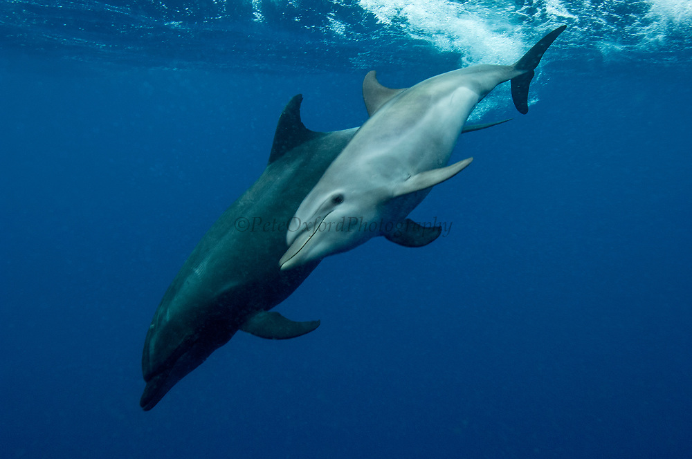 Bottlenose Dolphins (Tursiops truncatus) Mother & baby<br /> off of Wolf Island. GALAPAGOS ISLANDS, ECUADOR   South America<br /> RANGE: Widely distributed in cold temperate to tropical waters world wide