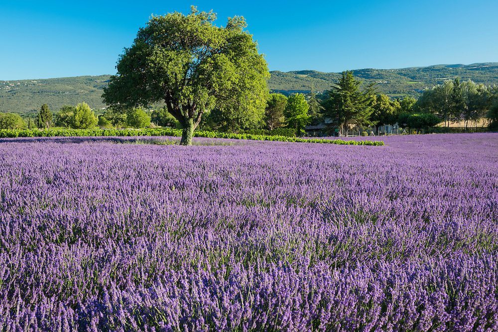 Europe, France, Provence, blooming lavender field,(m)