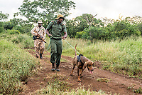 Bloodhound anti-poaching dog on patrol, Somkhanda Private Game Reserve, KwaZulu Natal, South Africa