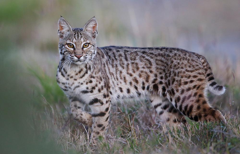 Bobcat, Lynx rufus<br /> Photographer:  Charlie Spiekerman <br /> Property:  Nueces Delta Preserve / Coastal Bend Bays &amp; Estuaries Program<br /> San Patricio/Nueces Counties