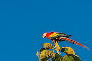 Scarlet macaws sitting on top of a tree