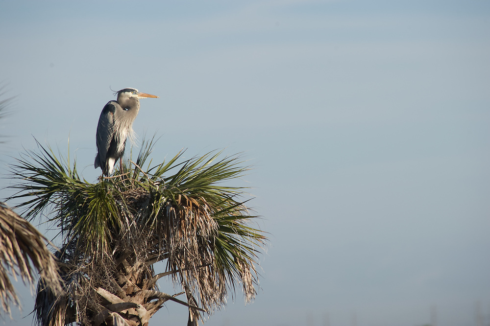 Heron on palm