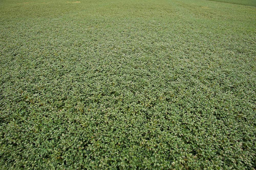 Field of soy bean plants