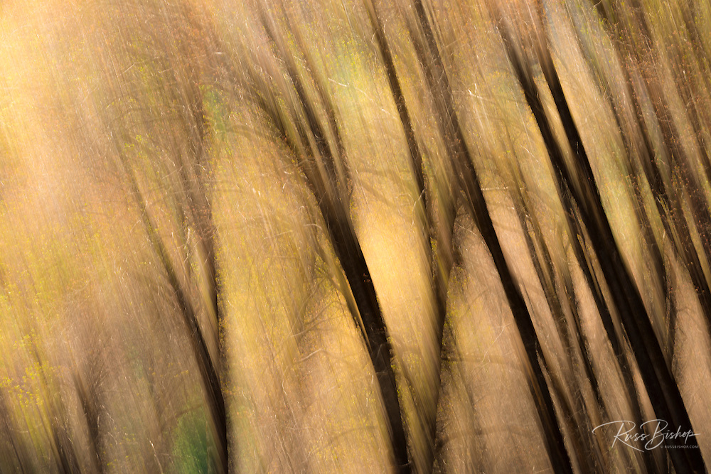 Forest abstract, Yosemite National Park, California