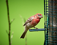 House Finch. Image taken with a Nikon D5 camera and 600 mm f/4 VR telephoto lens (ISO 1100, 600 mm, f/5.6, 1/1250 sec).