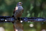 An euroasian sparrowhawk (sparvhök, Accipiter nisus) arrive to the pond in its usual fast stealthy and silent way - suddenly it's appear like by magic - all small birds in the forest are suddenly dead silent. Kiskunsagi National Park near Pusztaszer. Hungary. <br /> May 2015.