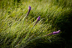Prairie blazing star (Liatris pycnostachya) also known as gayfeather is a common sight along the 1.5-mile Gayfeather Trail in the Regal Prairie Natural Area located in Prairie State Park. The park, located near Liberal, Mo. is Missouri&rsquo;s largest remaining tallgrass prairie. The park&rsquo;s nearly 4,000 acres is home to bison and elk. Panoramic hillsides of wildflowers such as prairie blazing star, sunflowers, and Indian paintbrush provide a canvas of color. In the fall, prairie grass such as big bluestem and Indian grass may tower as high as 8 feet tall. <br /> <br /> Tallgrass prairie once covered more than 13 million acres of Missouri&rsquo;s landscape. Today, less than one percent remains. The prairie at Prairie State Park remains because the rocky land was too difficult to plow, which protected it from being farmed. Hiking, animal viewing, camping, birdwatching, and photography are some of the activities that the park affords. <br /> <br /> The Regal Prairie Natural Area is a 240-acre state natural area within the park that is especially noted for its wildflower display. The Nature Conservancy and the Missouri Prairie Foundation provided funding for the purchase of much of the park&rsquo;s acreage. The area was dedicated as a state park in 1982.
