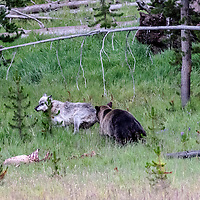 Face Off! No You Don't, Wolf! Grizzly bear keeps gray wolf away from the wolf's elk kill. Yellowstone National Park, Wyoming.