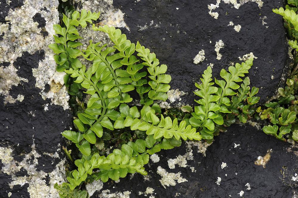Sea Spleenwort - Asplenium marinum