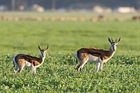 Domestic Springbok in farm fields, Bredasdorp, Overberg, Western Cape, South Africa,