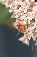 Brown Daddy-longlegs (Opiliones order) spider that lost it's leg to the sticky Milkweed (Asclepias syriaca) pollinia that trapped it's front right leg, seen in the lower right corner of the image. The spider has already lost it's third left leg.