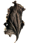 dried up crumpled sunflower leaf
