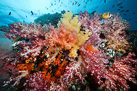 Colorful Soft Corals.Shot in West Papua Province, Indonesia