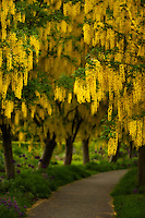 A path leads into a lush display of spring Laburnum, also know as the goldenchain tree.