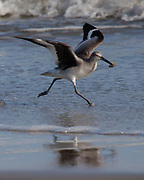 A Willet with a small snack at Assateague Island National Seashore