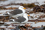Pair of Kelp Gulls (Larus dominicanus dominicanus) on the beach of Sea Lion Island, the Falklands.