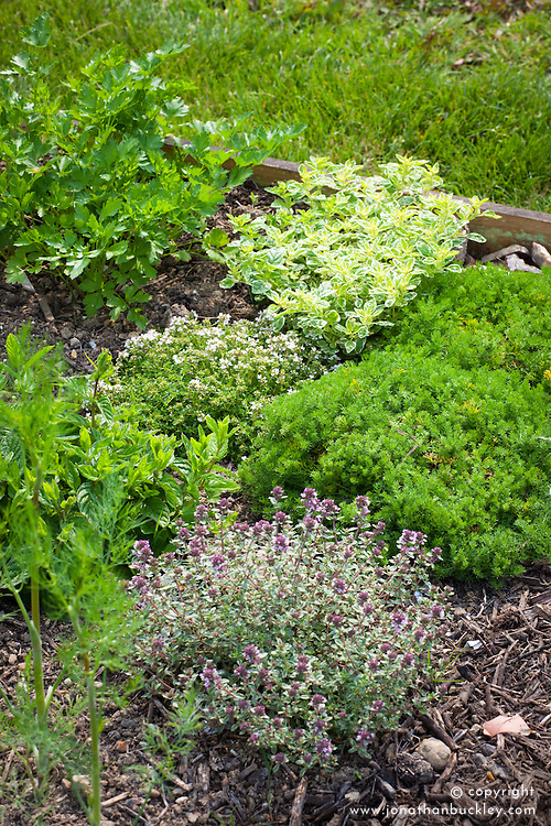 Herb bed with Chamaemelum nobile (Chamomile), Oreganum vulgare 'Country Cream' (Oregano), Thymus 'Alba', and Thymus 'Silver Posie' (Thyme).