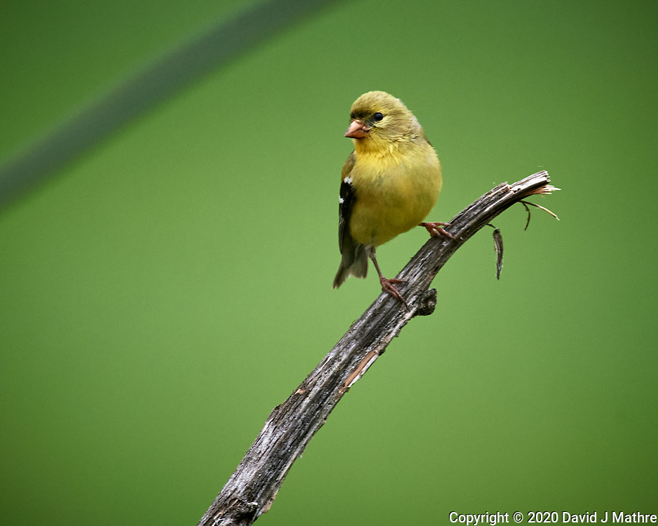American Goldfinch. Image taken with a Nikon D5 camera and 600 mm f/4 VR telephoto lens (ISO 1100, 600 mm, f/5.6, 1/1250 sec).