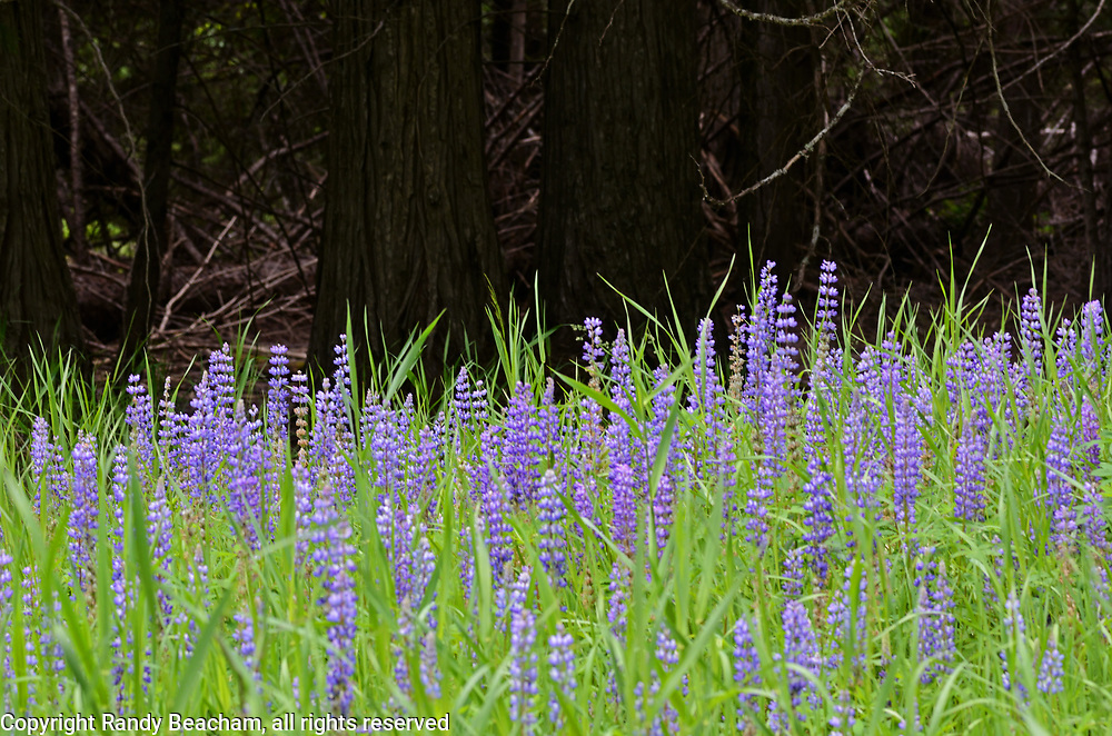 Blue pod lupine and a western redcedar grove in summer. Yaak Valley in the Purcell Mountains, northwest Montana.