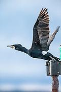 Cormorate sitting on a beacon | Skarv sitter på et sjømerke.