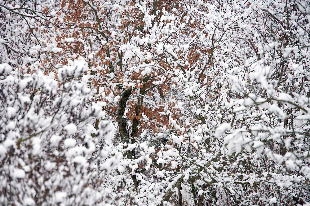 trees still with brown leaves covered with snow
