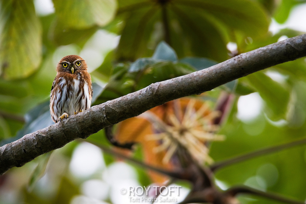 Ferruginous pygmy owl (Glaucidium brasilianum) perched on a tree branch, Pico Bonito, Honduras