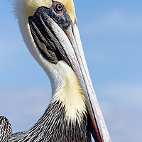 Brown Pelican, nonbreeding adult closeup looking right