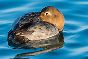 Canvasback, Aythya valisineria, female, Detroit River, Ontario, Canada