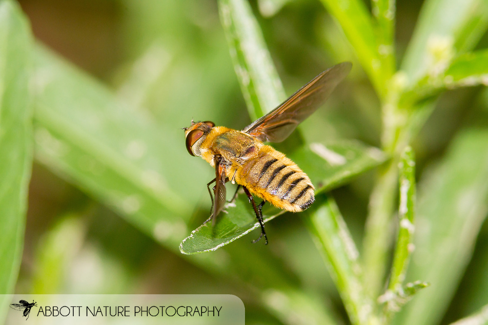 Bee Fly (Poecilanthrax lucifer)<br /> ARKANSAS: Montgomery Co.<br /> Private residence in Caddo Gap<br /> 21-June-2015<br /> J.C. Abbott #2748 &amp; K.K. Abbott