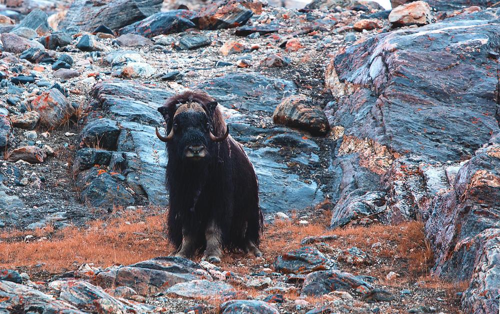 Muskox (Ovibos moschatus) Harefjord, Greenland