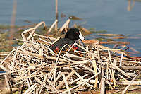 Farmington Bay Bird Refuge one of many in northern Utah early in June the young American Coots are born in the wetlands the adults are black and the young have red highlights.