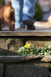 Self sown celandine growing in cracks between some steps at Glebe Cottage. Ranunculus ficaria