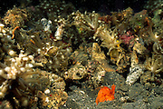 "Dieser leuchtend-orange gefärbte Fangschreckenkrebs (Lysiosquilloides mapia) scheint seinen prächtigen Vorgarten zu betrachten. | Mantis shrimp (Lysiosquilloides mapia) This species has been described by (Erdmann & Boyer, 2003), on the basis of a specimen collected in front of Mapia resort, Manado. The specific adjective comes from a word whose meaning is ""beautiful"" in an Indonesian dialect."
